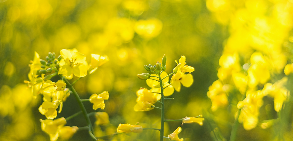 Foto Capa Site - Flores amarelas.png