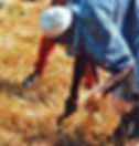 Developpement rural-récolte fonio Gaoual-Guinee.jpg