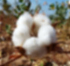 Filièeres agricoles-capsule coton-Burkina Faso.jpg