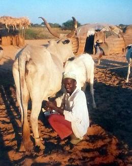 Filière latraite chez les peulhst-Région de Kayes-Mali-