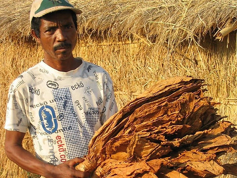 Production tabac madagascar-producteur de Tsaramandroso