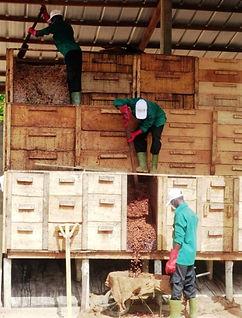 Production cacao Côte d'Ivoire- Brasse des fèves en fermentation