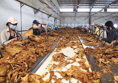 Production tabac au Laos-Handstripping