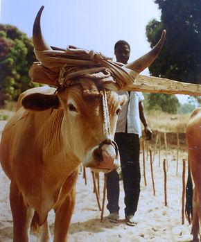 Projet développement rural Goual Kundara-culture attelée-boeuf de labour