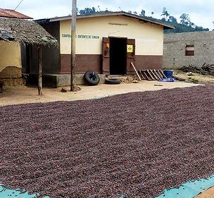 filière agricole-séchage cacao-coopérative-Côte d'Ivoire