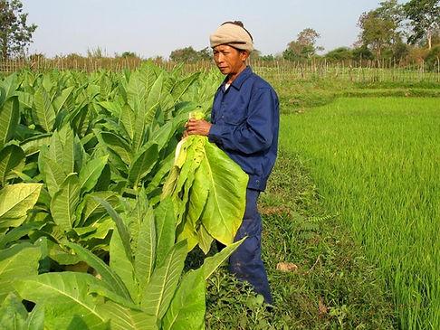Culture tabac Laos-Head of Farmer dans sa parcelle e tabac Burely