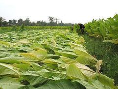 Culture de tabac burley au Laos-récolte en tige-Hinbo