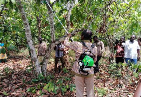 La taille des cacaoyer, un facteur essentiel de la productivité des vergers en Afrique de l'Ouest