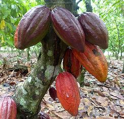 cacao Bio Côte d'Ivoire-Cabosses à maturité