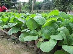 Culture de tabac virginie au Laos-Pépinières-potting plants-Hinboun