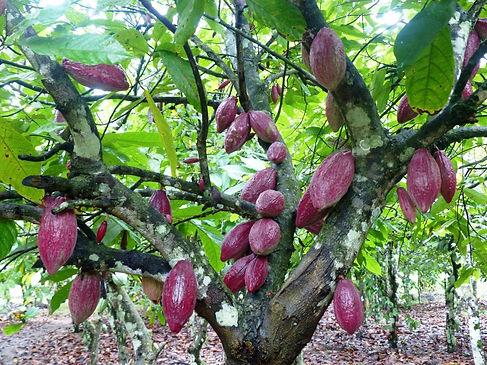 Production cacao Côte d'Ivoire-Parcelles taillée-Djangobo