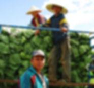 Filières agricoles-choux bolaven.jpg