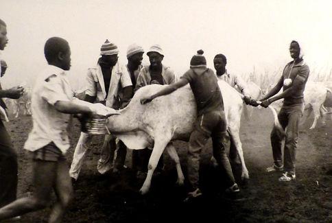 elevage laitier Mali-Vaccination-samé-Kayes.jpg