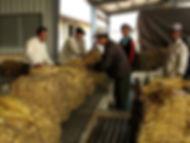 Production tabac au Laos-achat tabacs-déchargement par producteurs sur site de Vientiane