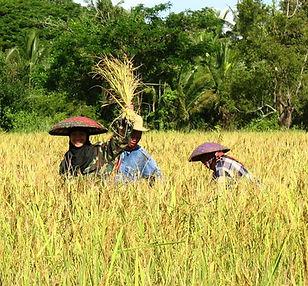 récolte riz à Tonghong-Laos.jpg