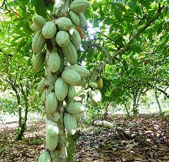 cacao biio Côte d'Ivoire-cabosses