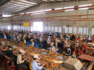 Production tabac au Laos-lignes handstripping Lao Tobacco