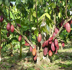 Cacao Bio-démontration greffage cacaoyer