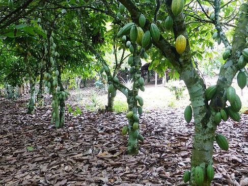 Production cacao Côte d'Ivoire-Cacaoyère à Adjaméné