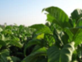Culture Tabac Laos-champs flue cured virginie Pakkadin dis