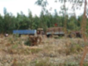 filière tabac madagascar-Fermes SOCTAM-Coupe eucaliptus