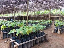 Production cacao Côte Ivoire-pépinière centre CEMOI de Zegban