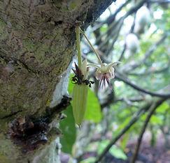 Cacao bio Côte d'ivoire- fleur cacaoyer