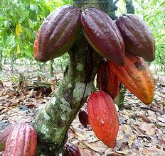 Filière Cacao-cabosse à  maturité-Côte d'Ivoire