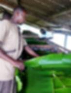 Production cacao aromatique Côte d'Ivoire-caisse fermentation stade 1