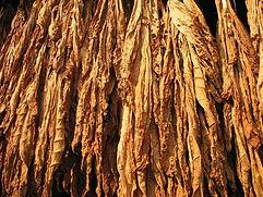 Culture de tabac burley au Laos-sêchage-Thadeua