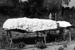 Production Coton Guinée-coton graine sur claie-Kundara