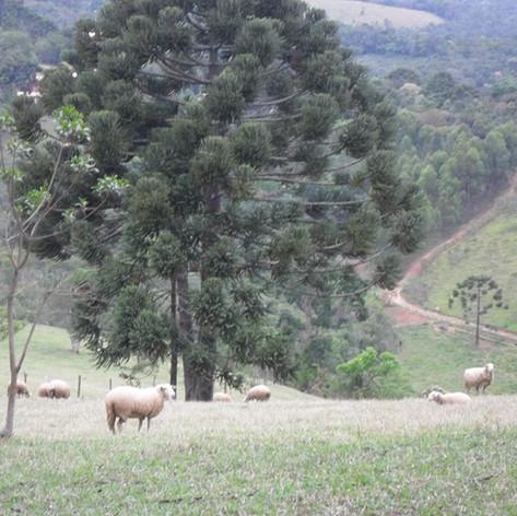Araucárias e Ovelhas