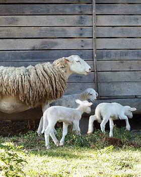 ovelhas6.jpg