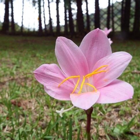Flor do Pasto