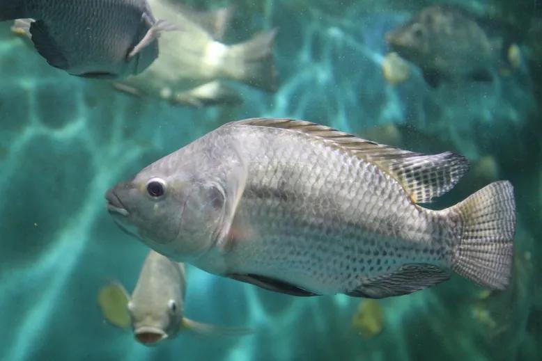 Shedding fresh light on tilapia evolution