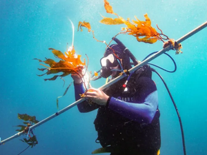 A technique that can quadruple kelp aquaculture output