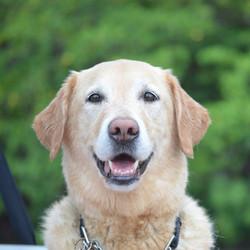 Murphy the Golden Retriever Labrador