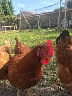 poules des Gîtes