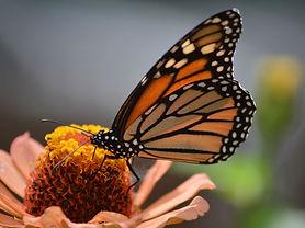 festival-cultural-de-la-mariposa-monarca.jpg