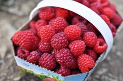 framboises4_fraisière Lebel