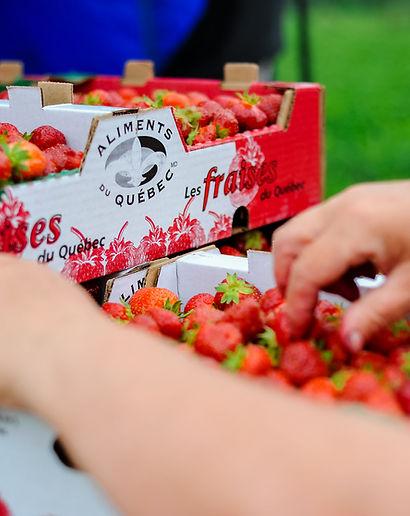 fraises au champ_Fraisière Lebel