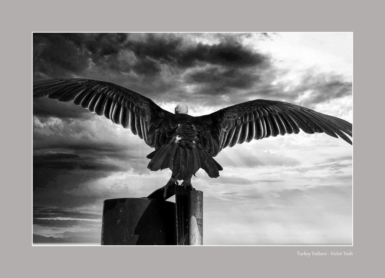 Turkey Vulture.jpg