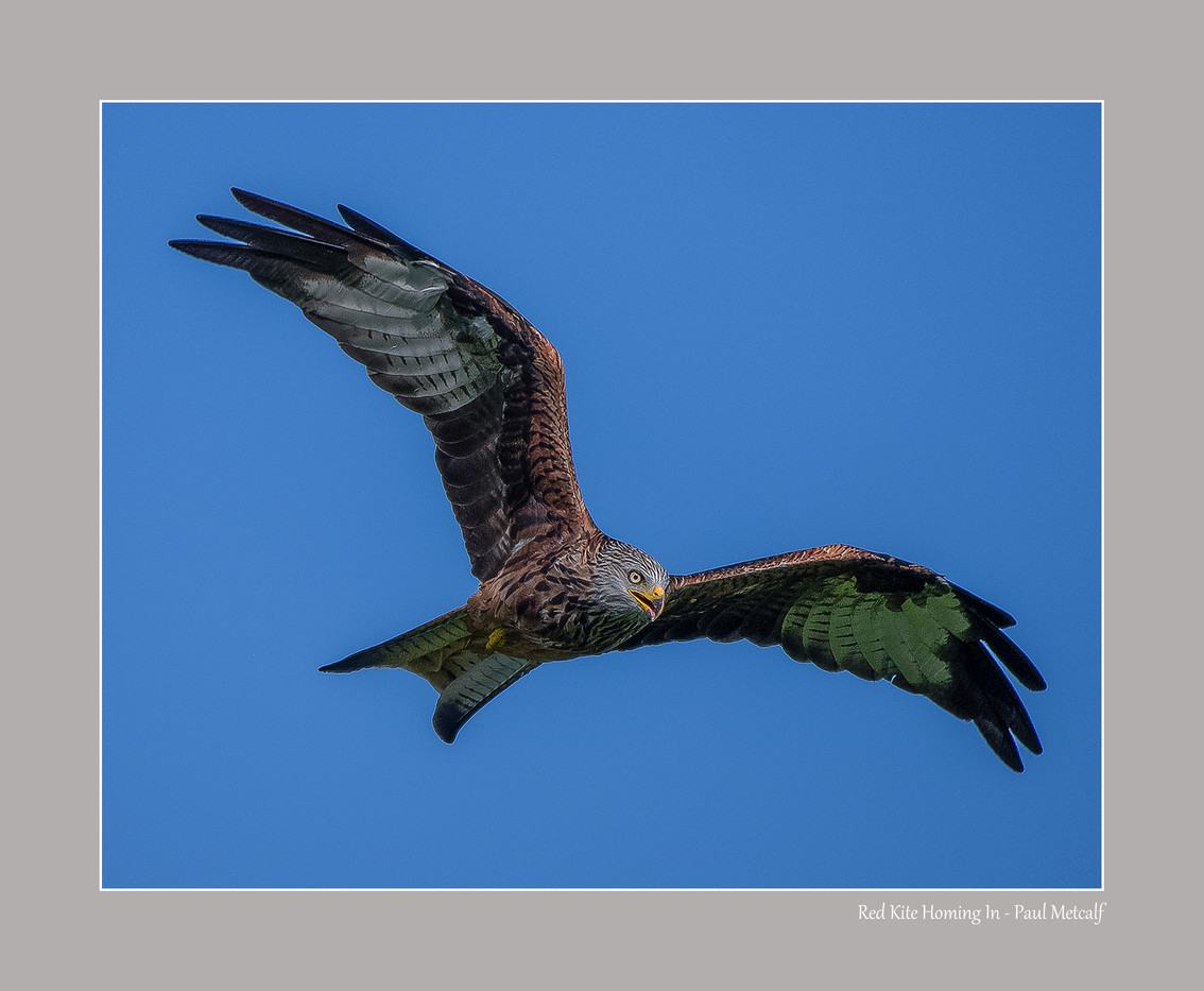 Red Kite Homing In