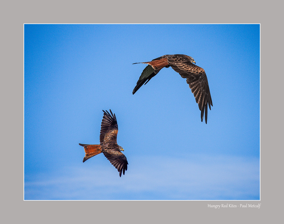 Hungry Red Kites
