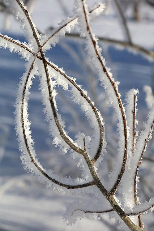 Frosty Morn 1912-7984
