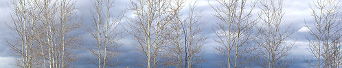 Panoramic - Aspens, Ready for Winter's Arrival 18-1002