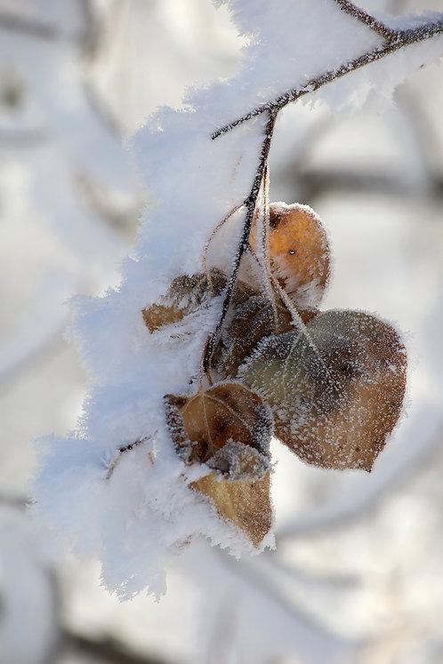 Frosty Morn 1912-8018