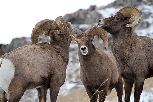 Three Way Dispute, Big Horn Sheep