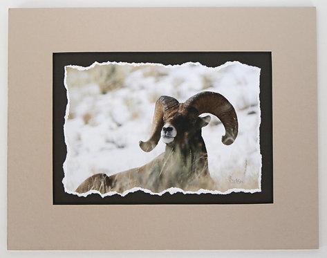 6x9 Big Horn Sheep, matted