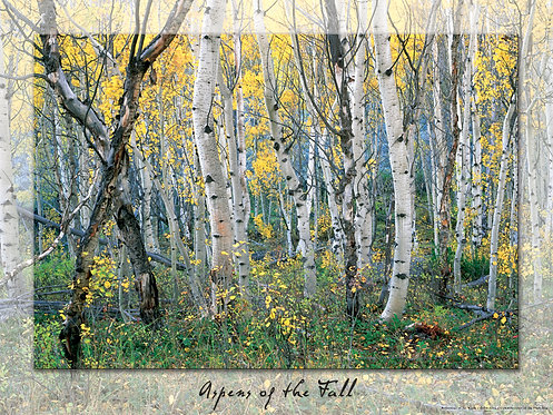 Poster, Aspens of the Fall